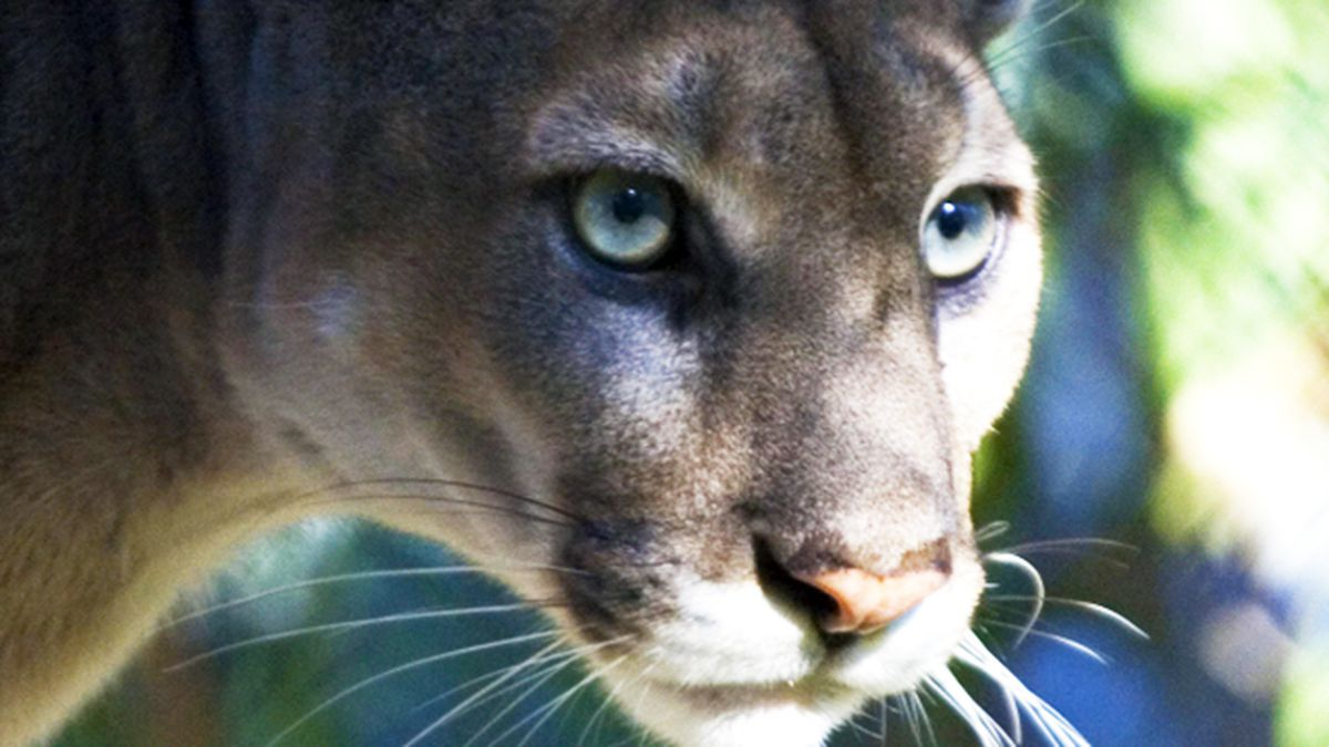 FWC: Endangered Florida panther cub dies after being hit by car