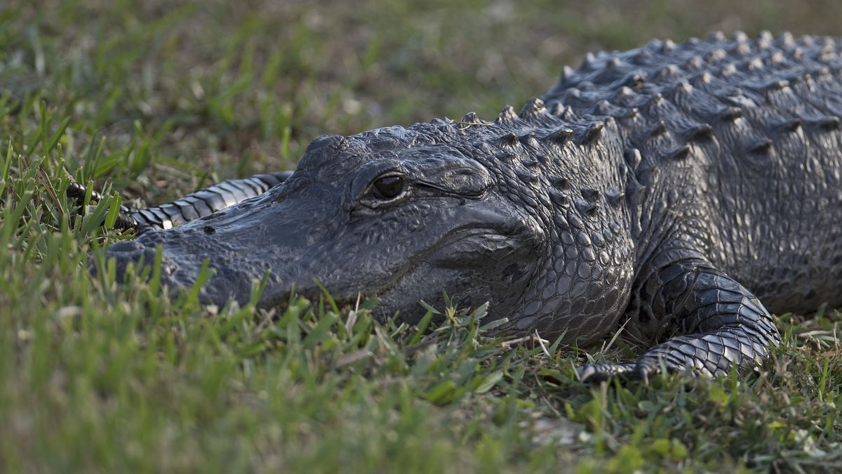Alligators, snakes and bears, oh my! How Floridians can avoid unwanted animal encounters this spring