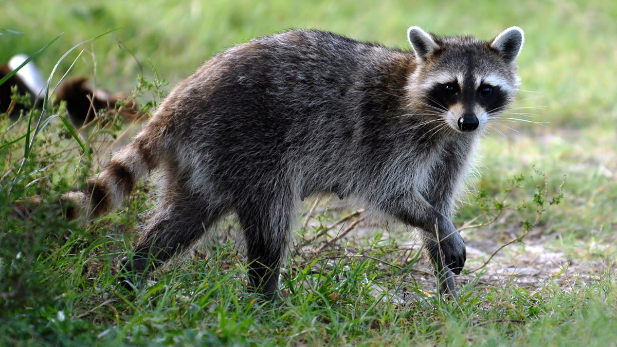 Rabies alert: Raccoon tests positive for rabies in Marion County near The Villages