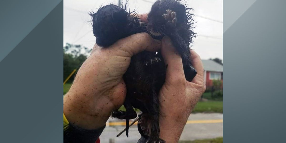 Watch: Tiny kittens stuck between fences rescued by Daytona Beach officers