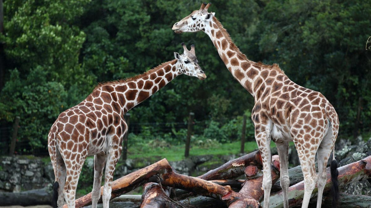 Giraffe calves join family at Disney's Animal Kingdom