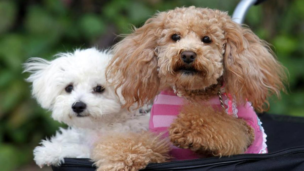 Family poodle hit by stray bullet in New Mexico home