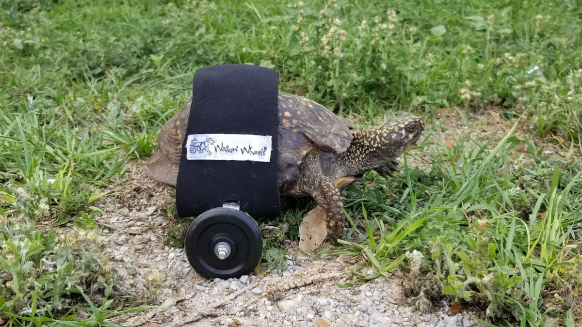 Florida tortoise fitted with custom wheelchair