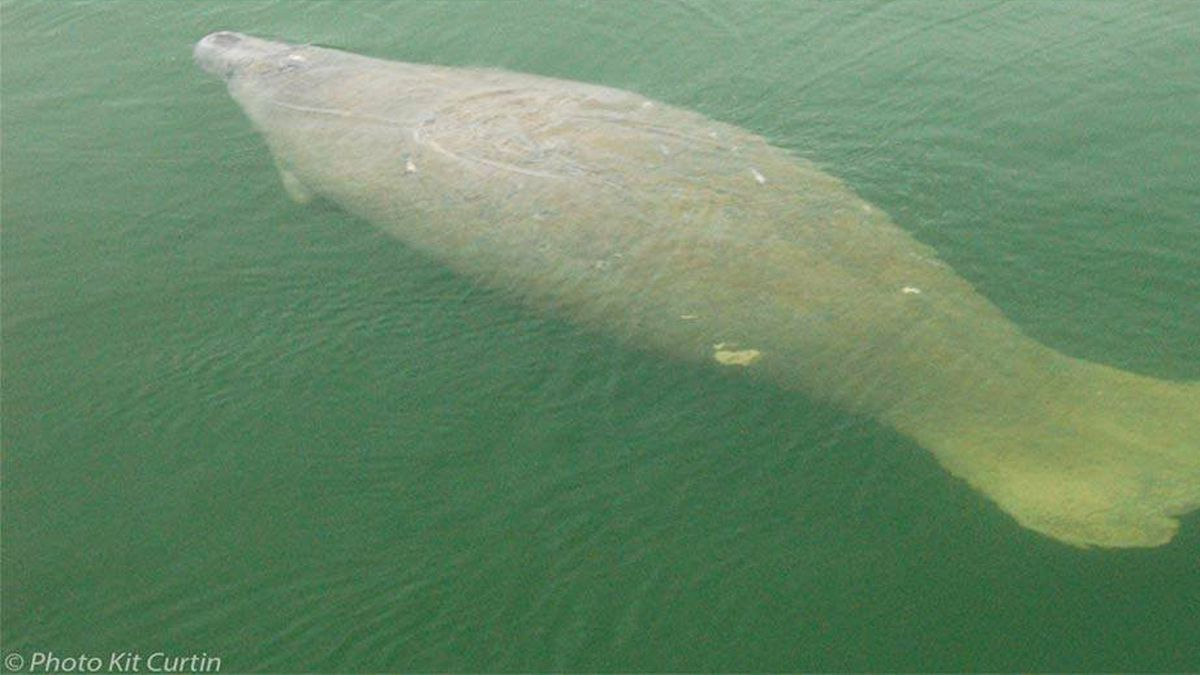 'Ilya' the wayward manatee, known for traveling to Cape Cod, killed by boat in Florida