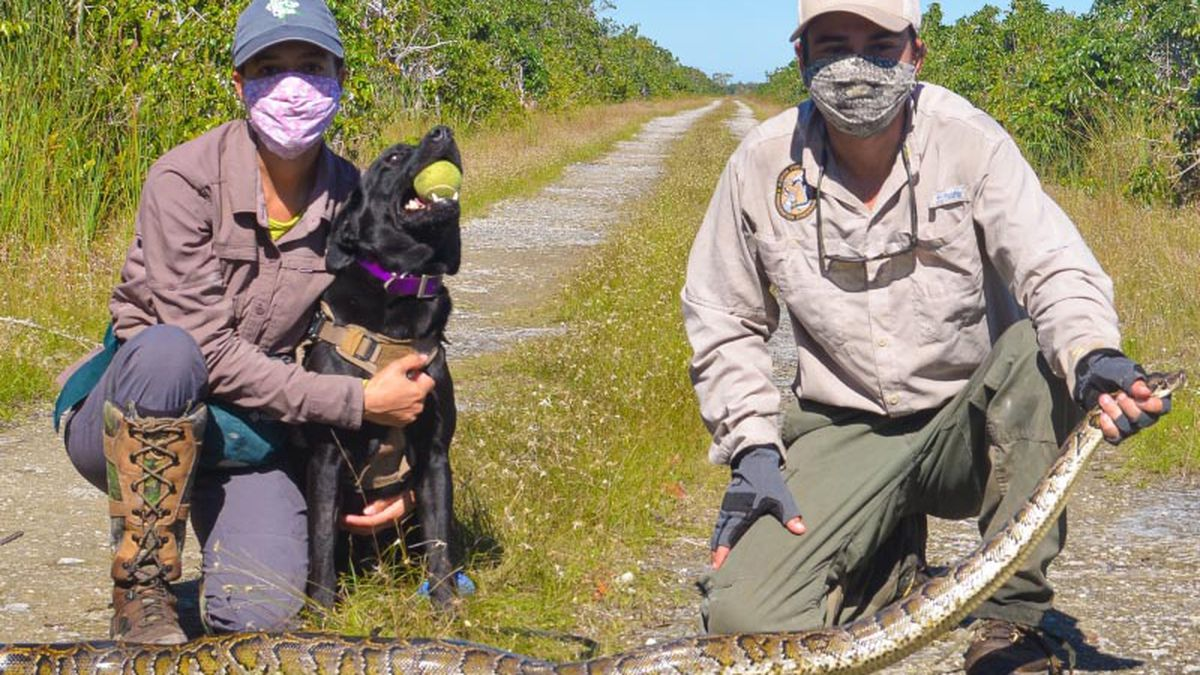 Python sniffing pups: Two dogs trained to track down invasive snakes in the Florida Everglades