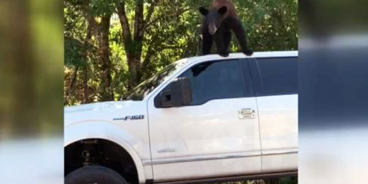 Bears honk horn, mangle seats while breaking into Florida family's truck