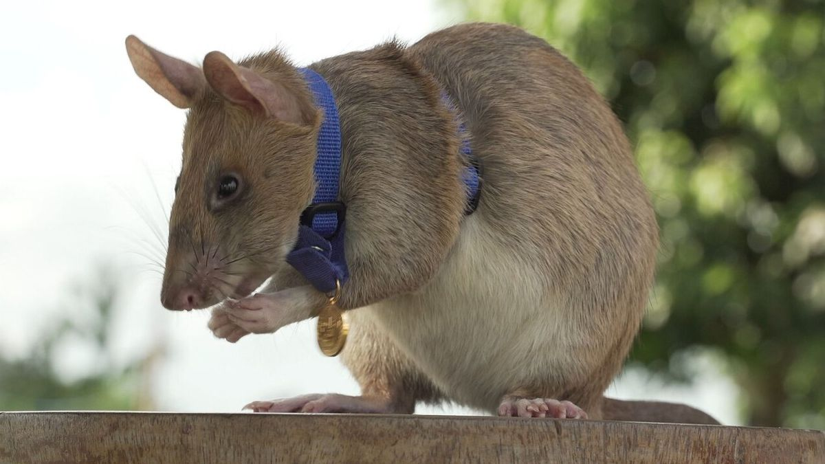 Magawa, the rat that sniffs out land mines, honored for bravery