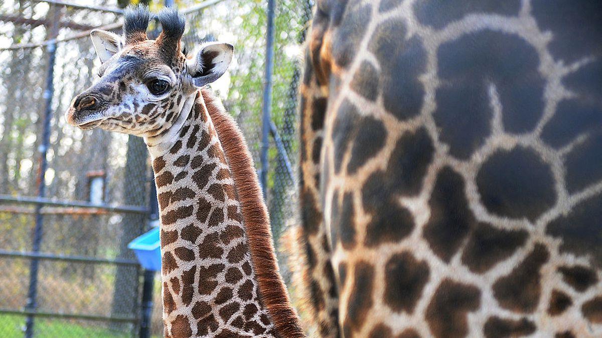 Hello baby: Toronto Zoo welcomes new giraffe, arctic wolf pups