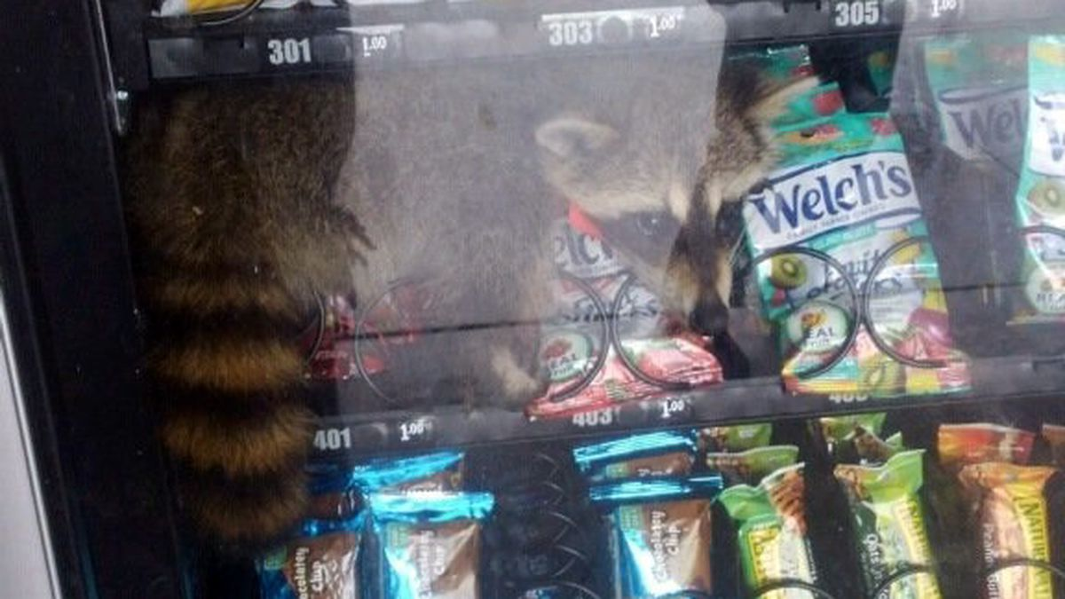 'Off to his next adventure': Raccoon freed from vending machine at Deltona school