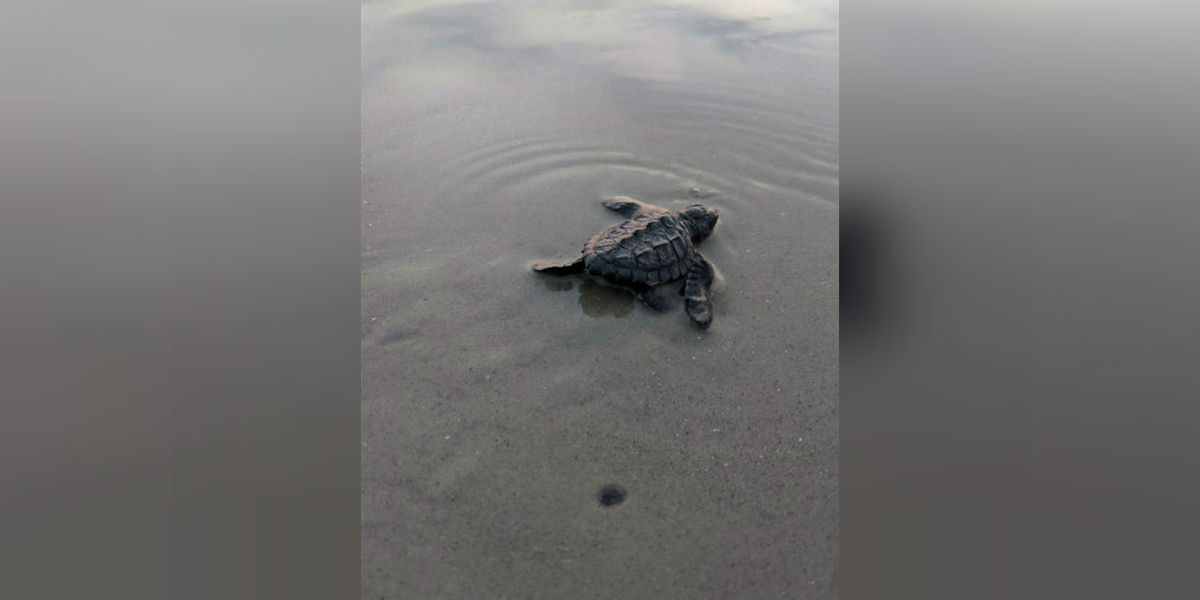 Rare sea turtle eggs hatch on Hilton Head beach