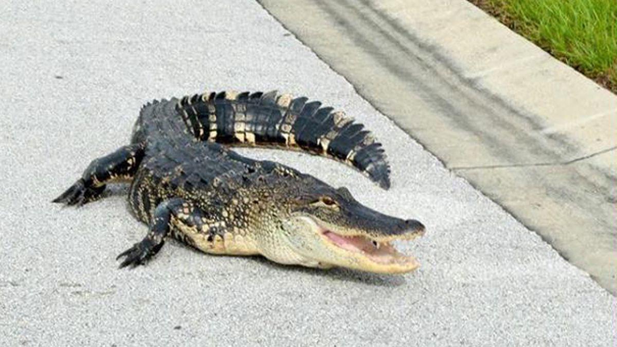Officers lasso 5-foot gator in Winter Haven neighborhood