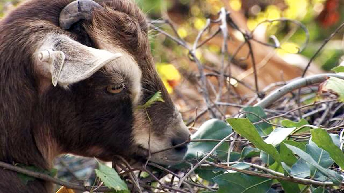 Windermere subdivision using goats to destroy invasive plants