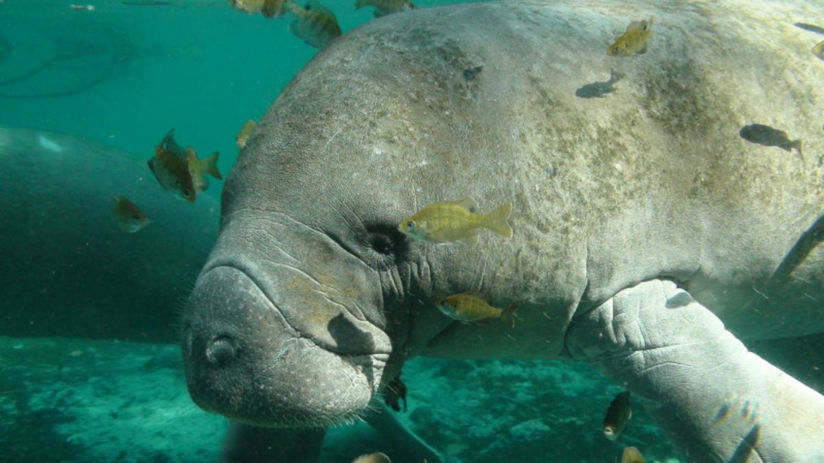 Manatee caught sipping hose water while man cleans boat