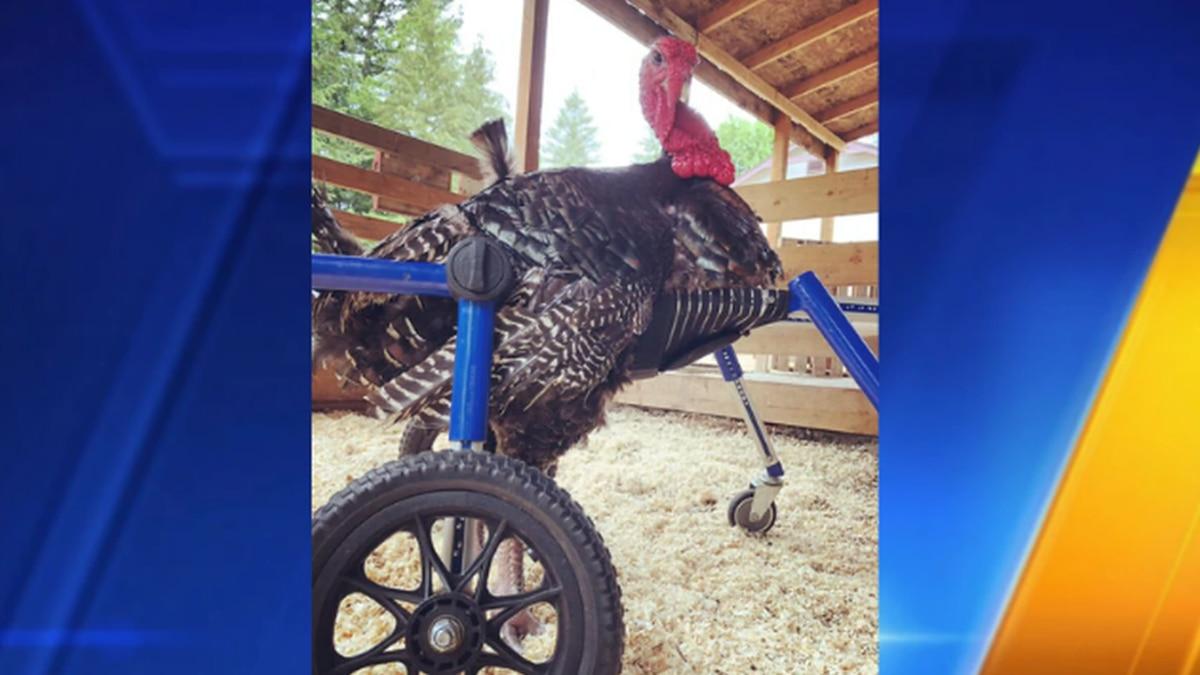 Turkey with injured foot gets wheelchair