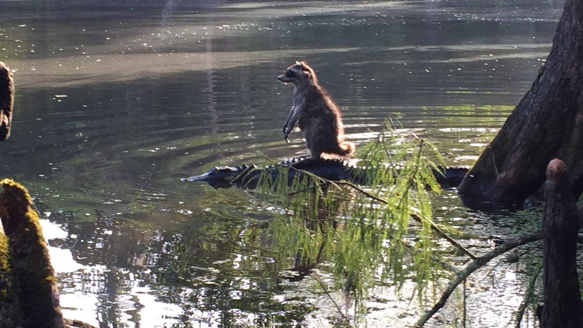 Man snaps picture of raccoon on top of gator in Ocala National Forest