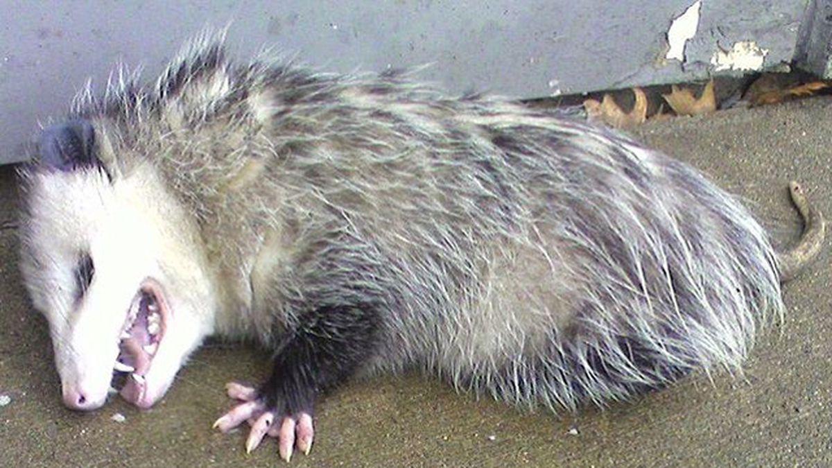 Opossum breaks into liquor store, gets drunk, officials say