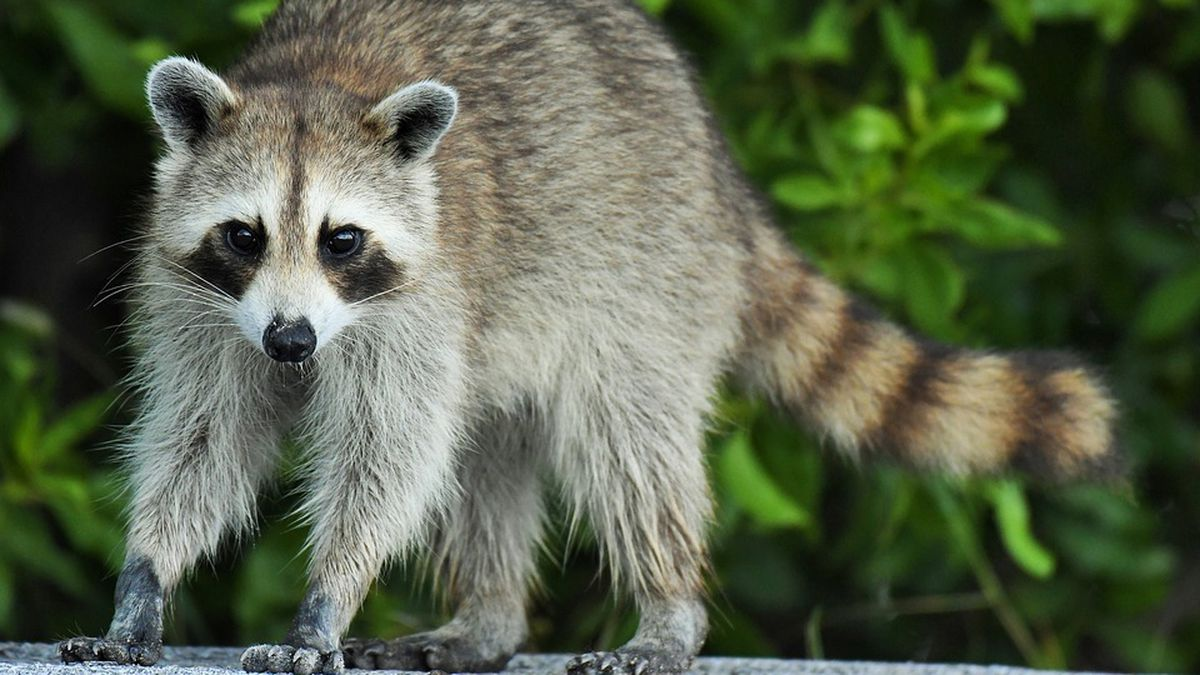 Curious raccoon knocks out power to thousands in Kissimmee, utility company says